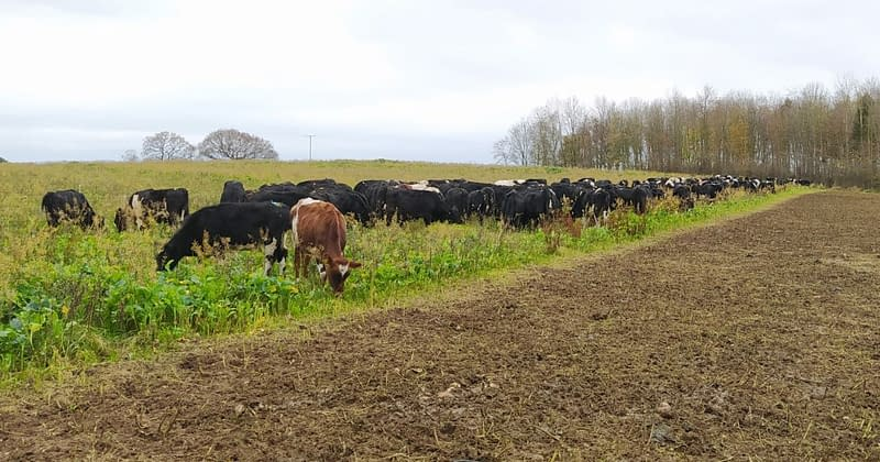 out wintered heifers on kale turnips and mustard